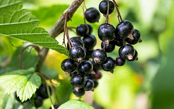 Blackcurrant - calories, nutrition, weight