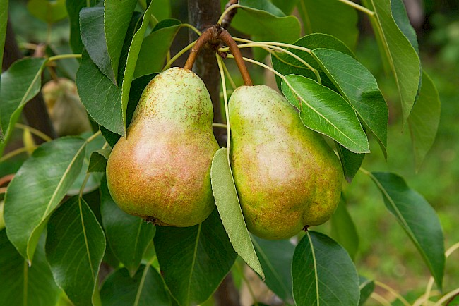 Pear - calories, kcal, weight, nutrition