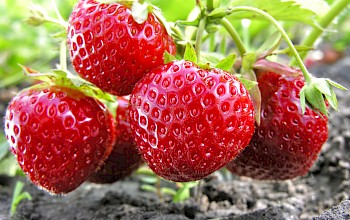 Strawberries - calories, nutrition, weight