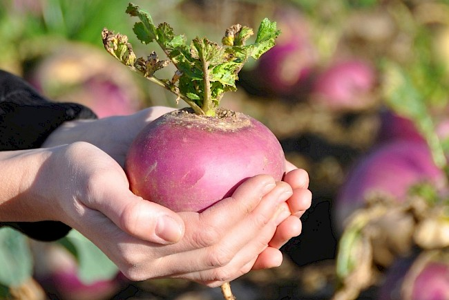 Turnip - calories, kcal, weight, nutrition