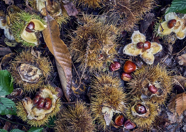 Chestnuts - calories, kcal