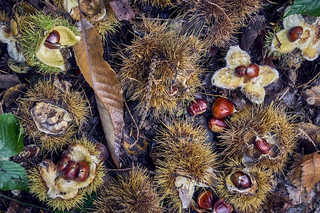 Chestnuts - calories, kcal, weight, nutrition