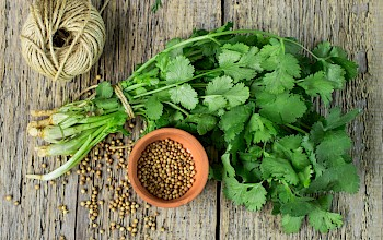 Coriander - calories, nutrition, weight