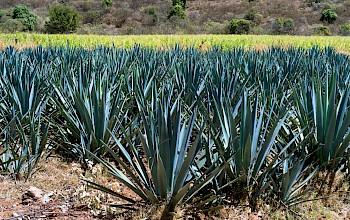 Dried agave - calories, nutrition, weight