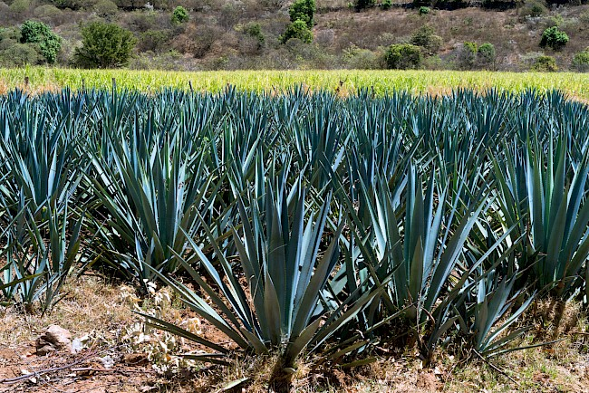 Dried agave - calories, kcal, weight, nutrition